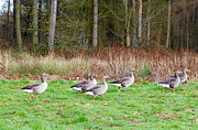 Grey Goose Prints - Flock Of Gray Geese Walking Through Field Print by Fizzy Image