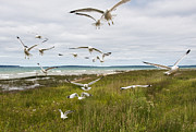 Randall Nyhof - Flock of Gulls by the Straits of Mackinac No. 2534