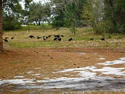 Florida Wild Turkey Prints - Flock of Osceola Turkeys Print by Tonna Mears