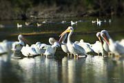 Diana Haronis - Flock of Pelicans