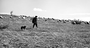 Romania Photos - Flock of sheep and shepherd by Gabriela Insuratelu