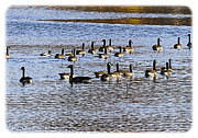 South For The Winter Framed Prints - Flock on the Lake Framed Print by Barry Jones