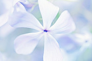 Phlox Metal Prints - Floral in Pastel Tones of Blue Metal Print by Natalie Kinnear