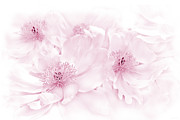 Light And Dark  Prints - Floral Peonies in Pink Print by Jennie Marie Schell