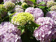Flora Photography Prints Posters - Floral Pink Lavender Hydrangea Garden art prints Poster by Baslee Troutman Nature Photography