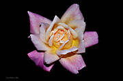Floribunda Rose In Full Bloom Print by Susan Wiedmann