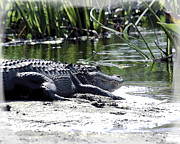 William Havle - Florida Alligator On The...
