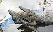 Florida Gators Framed Prints - Florida Alligators Framed Print by Jean Clark