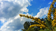 Goldenrod Wildflowers Prints - Florida Beauty - Landscape Art By Sharon Cummings Print by Sharon Cummings