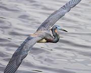 Tri Colored Heron Posters - Florida Bird in Flight - Tri-colored Heron Poster by Bill Swindaman