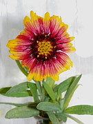 Patty Weeks - Florida Blanket Flower