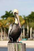 Coastal Birds Framed Prints - Florida Brown Pelican Framed Print by Carol Groenen