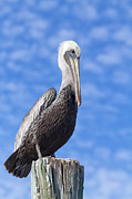 Grey Clouds Posters - Florida Brown Pelican Poster by Kim Hojnacki