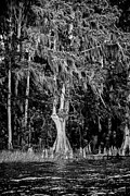 Christopher Holmes Framed Prints - Florida Cypress - BW Framed Print by Christopher Holmes