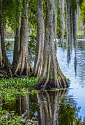 Cypress Knees Photos - Florida Cypress Trees by Carolyn Marshall