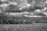Palmetto Trees Prints - Florida Everglades 0184BW Print by Rudy Umans