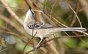 Paul  Wilford - Florida Mockingbird