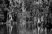 Florida Trees Framed Prints - Florida Naturally 2 - BW Framed Print by Christopher Holmes