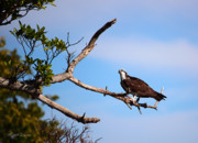 Reversible Framed Prints - Florida Osprey Having Breakfast Framed Print by Michelle Wiarda