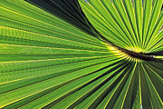 Larry Nieland - Florida Palm Frond