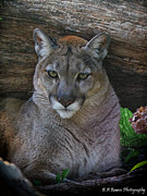 Florida Nature Photography Originals - Florida Panther by Barbara Bowen