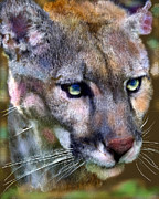 Panther Digital Art Originals - Florida Panther by Frederick Kenney