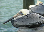 Sea Birds Posters - Florida Pelicans Poster by Tracy L Teeter