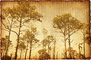 Reverence Framed Prints - Florida Pine 5 Framed Print by Skip Nall