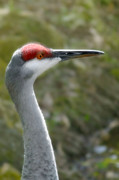 Crane Posters - Florida Sandhill Crane Poster by Christine Till