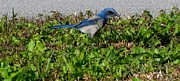 Scrub Jay Paintings - Florida Scrub Jay by Paintingart Galleries