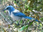 Blue Jay Images Prints - Florida Scrub Jay Print by Peg Urban