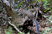 Jodi Terracina - Florida Squirrel