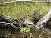 Swamp Pastels Posters - Florida Turtle Poster by Tracy L Teeter