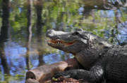 Alligators Photos - Florida - Where the Alligator smiles by Christine Till