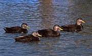 Photos Of Birds Framed Prints - Flotilla Of Black Ducks Framed Print by Skip Willits