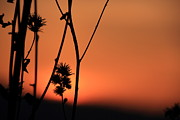 Floral Photographs Photo Originals - Flower and sunset by Maurizio Grandi