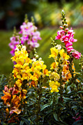 Yellows Acrylic Prints - Flower - Antirrhinum - Grace Acrylic Print by Mike Savad