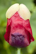 Science Photo Library - Flower bud of Papaver...