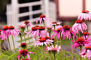 Angiosperms Art - Flower - Cone Flower - In an English garden  by Mike Savad