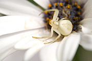 Randal Ketchem - Flower Crab Spider...