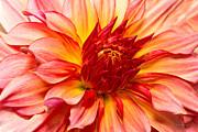 Mike Savad - Flower - Dahlia - Natures breath taker