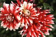 Flower-dahlia-red-white-trio Print by Joy Watson