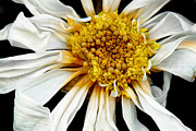 Flower Scenes Prints - Flower - Daisy - Drunken sun Print by Mike Savad