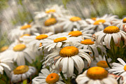 Garden Flowers Photos - Flower - Daisy - Not quite fresh as a daisy by Mike Savad