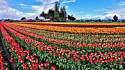 Skagit Valley Posters - Flower Field Poster by Benjamin Yeager