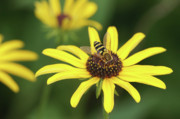 Insecta Art - Flower Fly and Yellow Flowers by Clarence Holmes