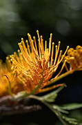 Australian Native Flora Prints - Flower-grevillea-australian Native Print by Joy Watson