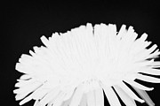 Pasture Herb Prints - flower head of dandelion taraxacum officinale flower in garden family Compositae Print by Joe Fox