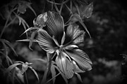 Flower In B-w Print by Beth Vincent