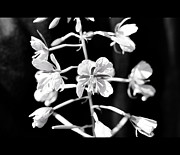 Border Photo Originals - Flower in black and white by Tommy Hammarsten